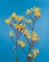 Common Flower Name Kangaroo paw yellow