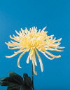Common Flower Name Spider Fuji Yellow