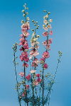 Common Flower Name Larkspur pink