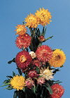 Common Flower Name Strawflower
